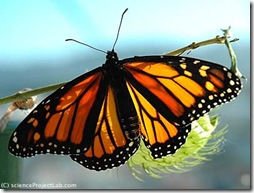 monarch-butterfly-full